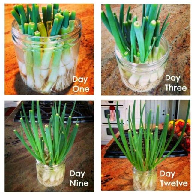 ¡Cultivar cebollas verdes y otras cosas en las que estoy pensando! – Cocina de Kalyn